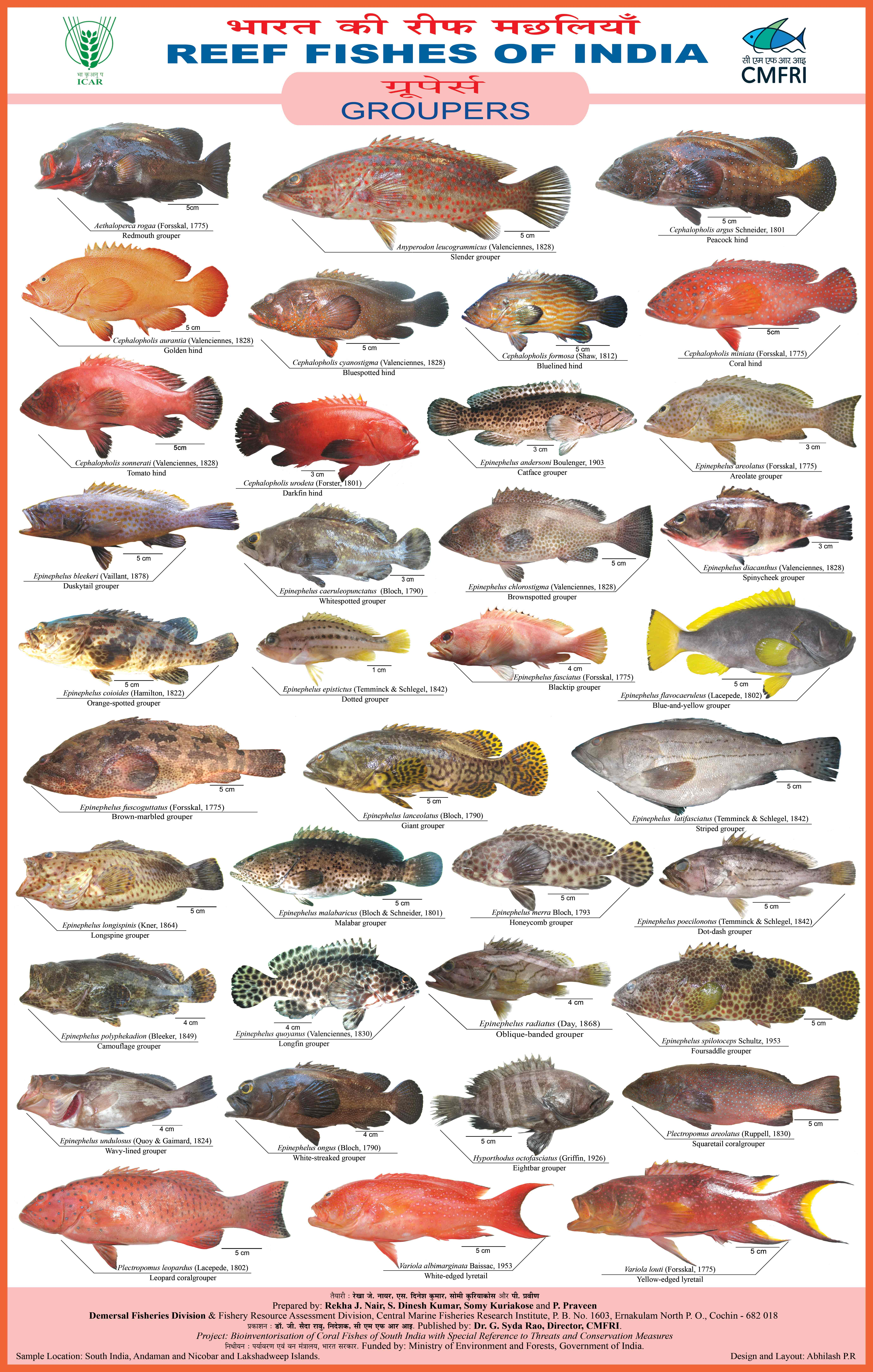 Reef fishes of india groupers cmfri repository for Types of red fish